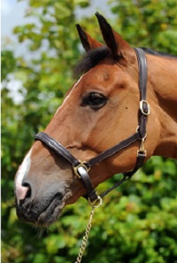 JUST IN...WHITAKER LEATHER HEADCOLLAR £39.99